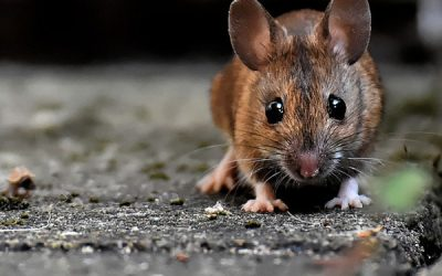 Top 10 Common Mouse Entry Points in Your Home