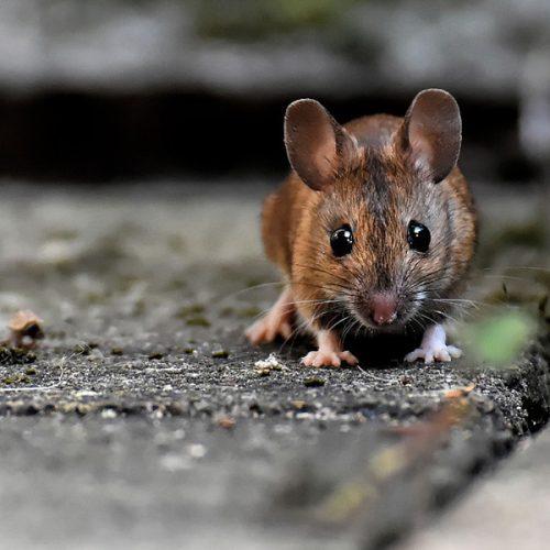 best pest control, mice treatment Illinois