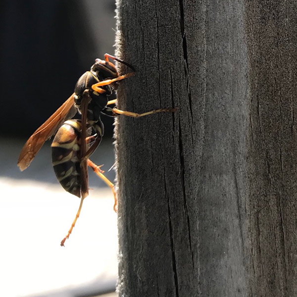 best pest control service paper wasps