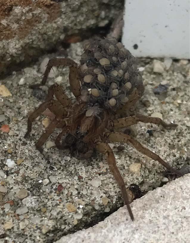 pest spider