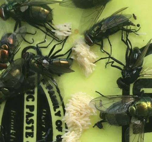 best pest control flies invasion